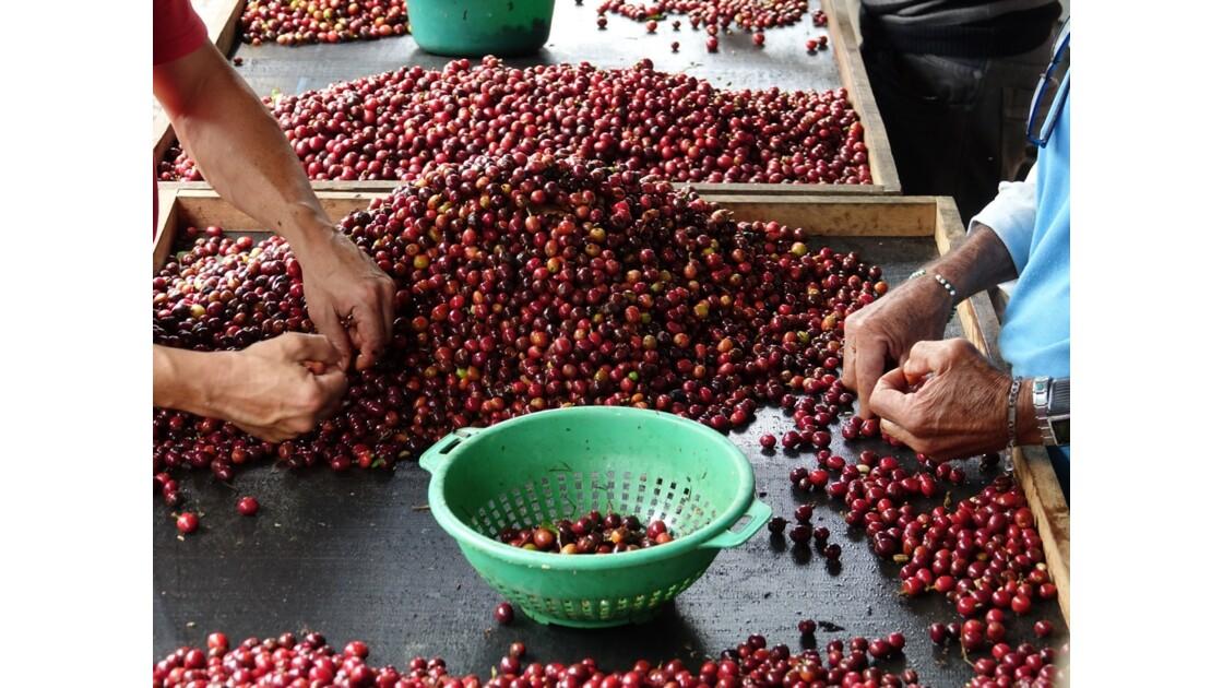 Colombie vallée de Corcora Tri du café 2