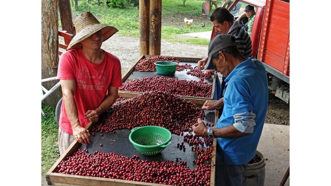 Colombie vallée de Corcora Tri du café 3