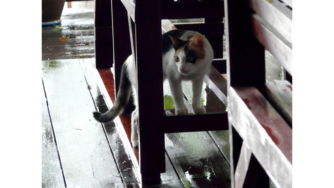 Pussy, le chat de Tubtim