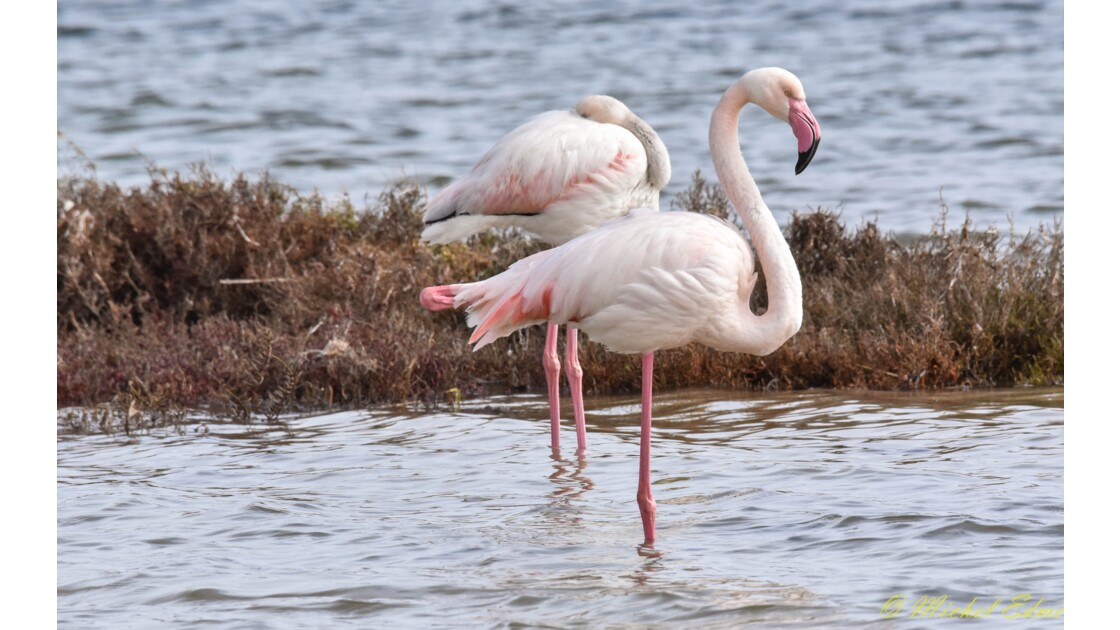 FLAMANDS ROSE ETANG DE THAU
