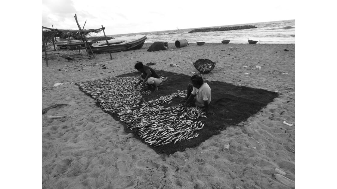 Tri & séchage des poissons-Negombo