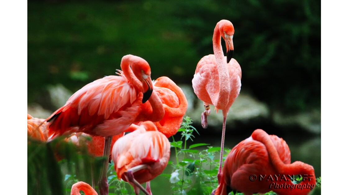 Les flamands roses du Zoo de Beauval