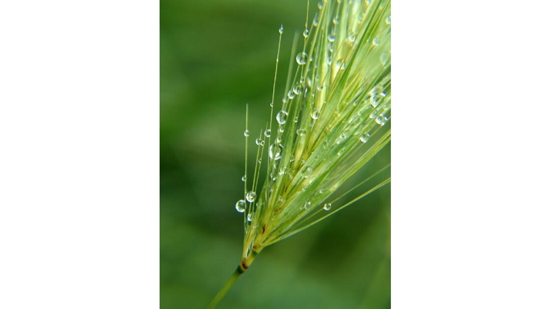 Épis de blé et ses gouttes de pluie