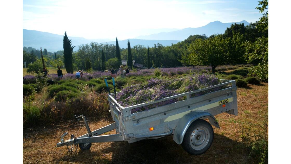 Récolte des lavandes à Digne