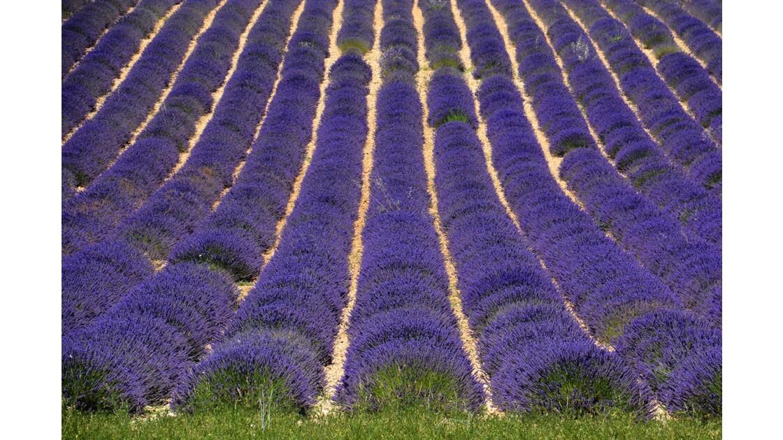 champs de lavandes