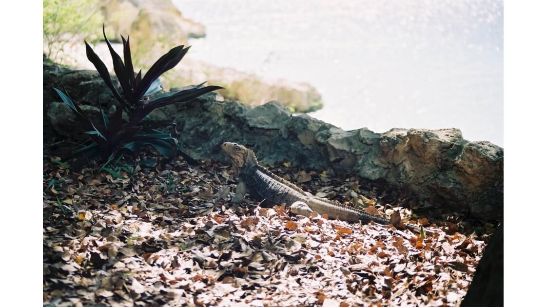 Les iguanes du cayo