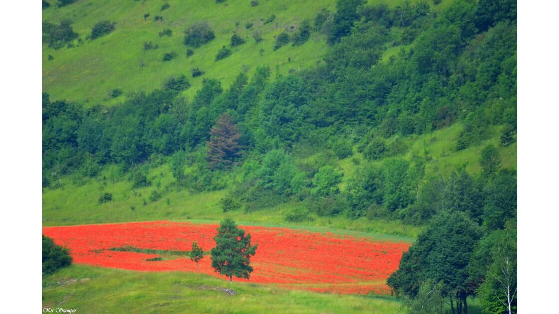 poppy field