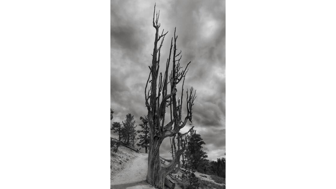 Arbre sec à Bryce