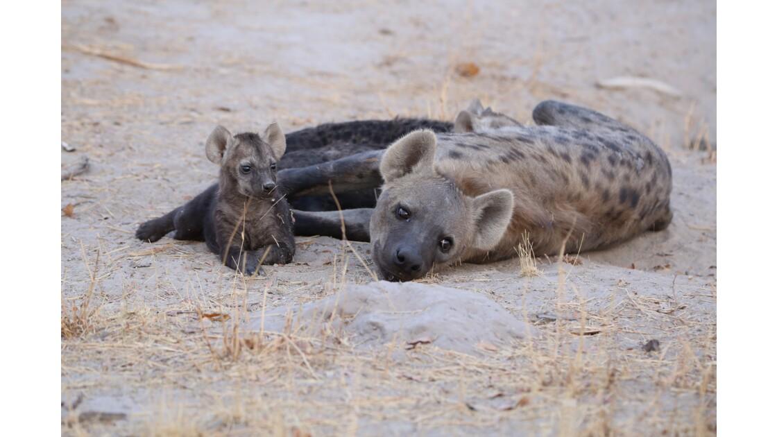 Hyène - Delta de l'Okavango