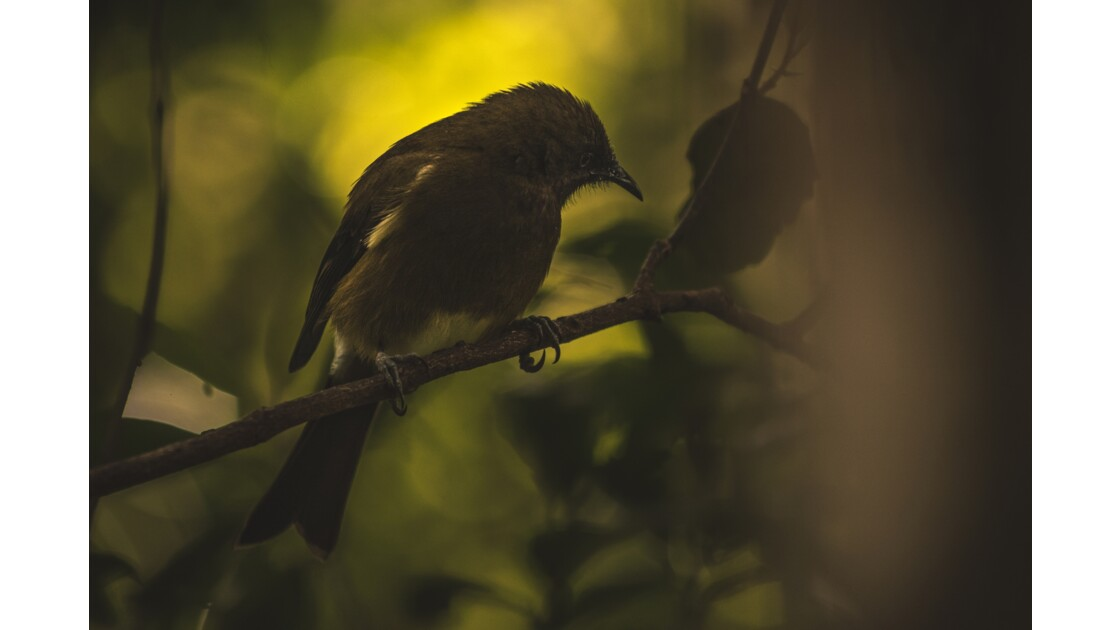 Dark bellbird