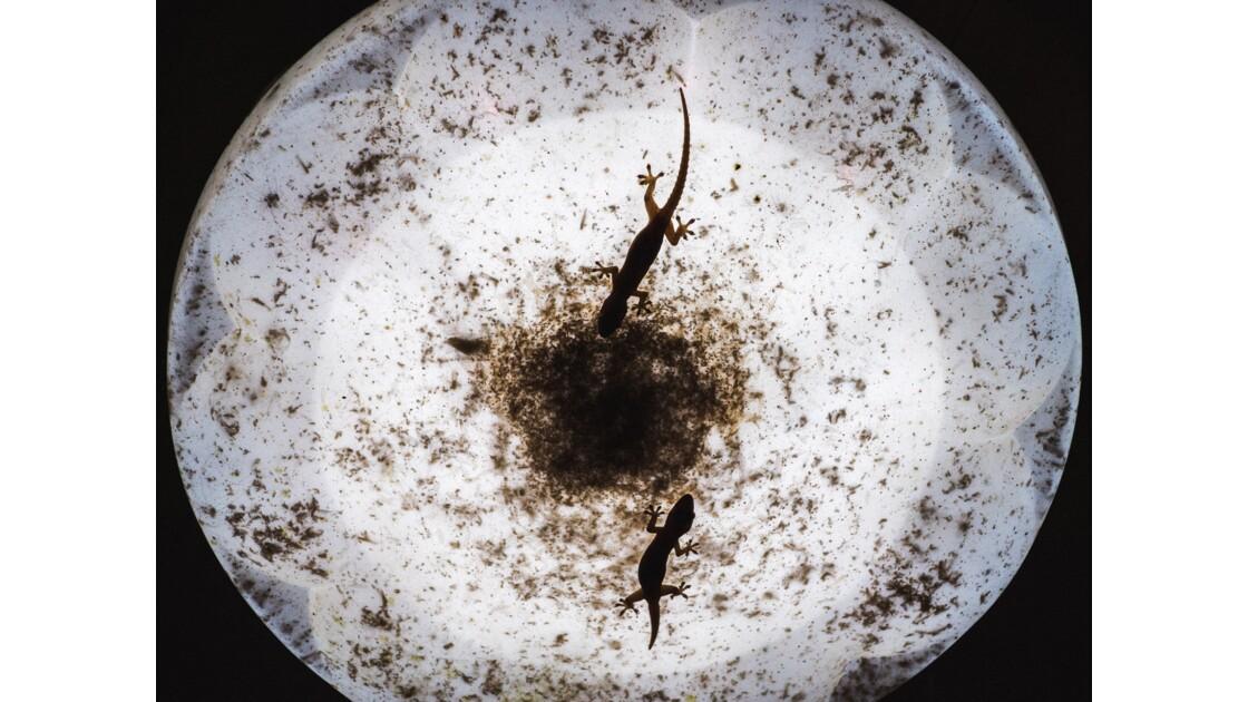 Ombres de Geckos