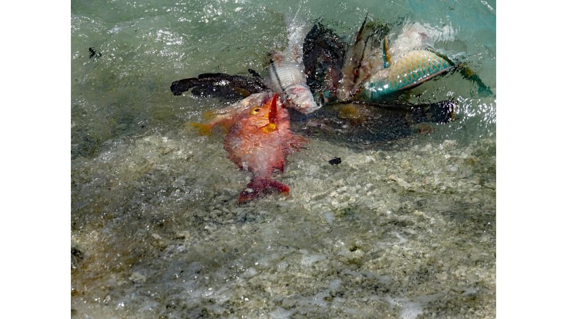 Tuamotu Rangiroa - Retour de pêche 5