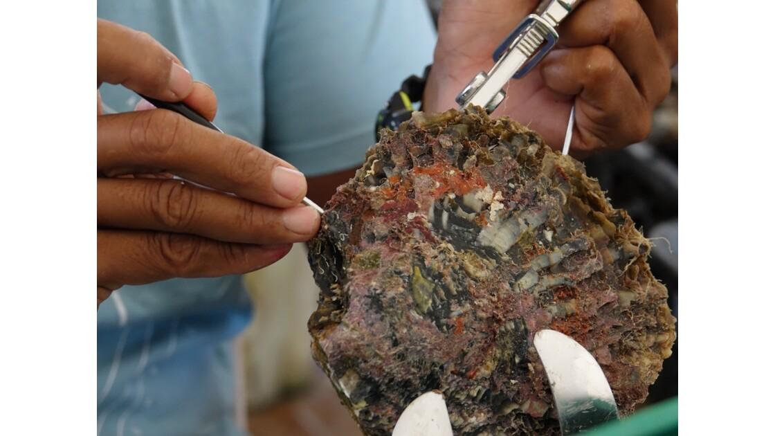 Tuamotu Rangiroa - Greffe d'un nucleus à Gaugin's Pearl 2