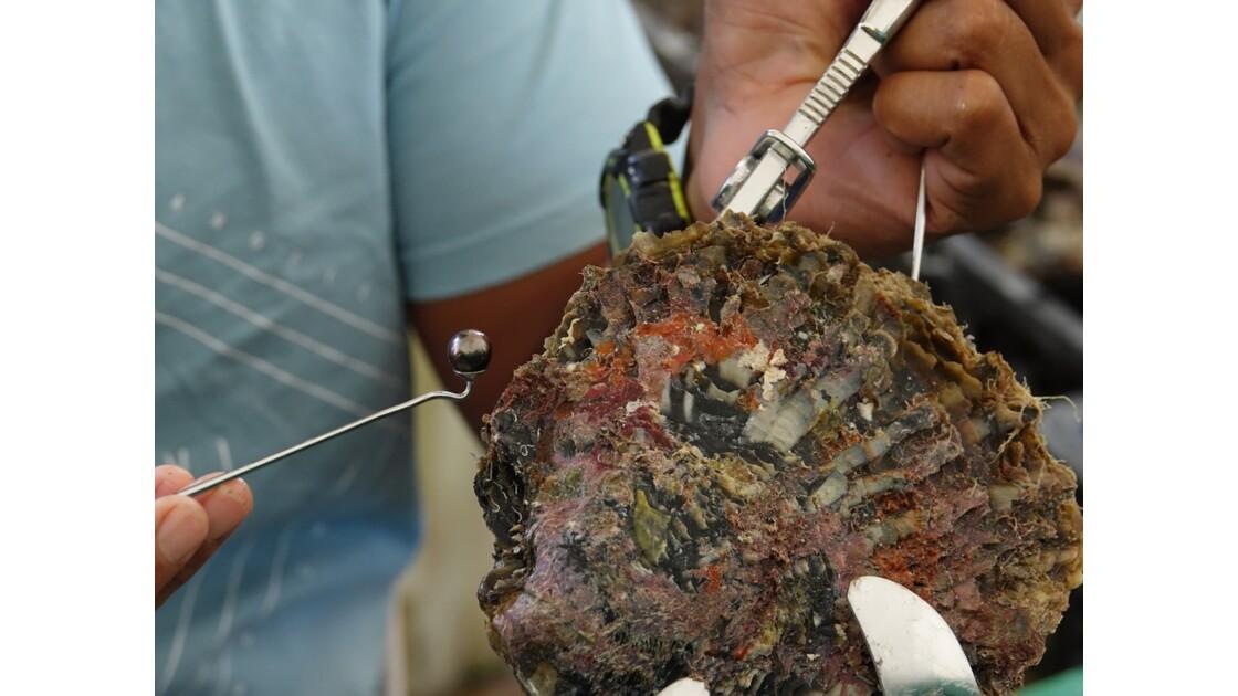 Tuamotu Rangiroa - Greffe d'un nucleus à Gaugin's Pearl 3