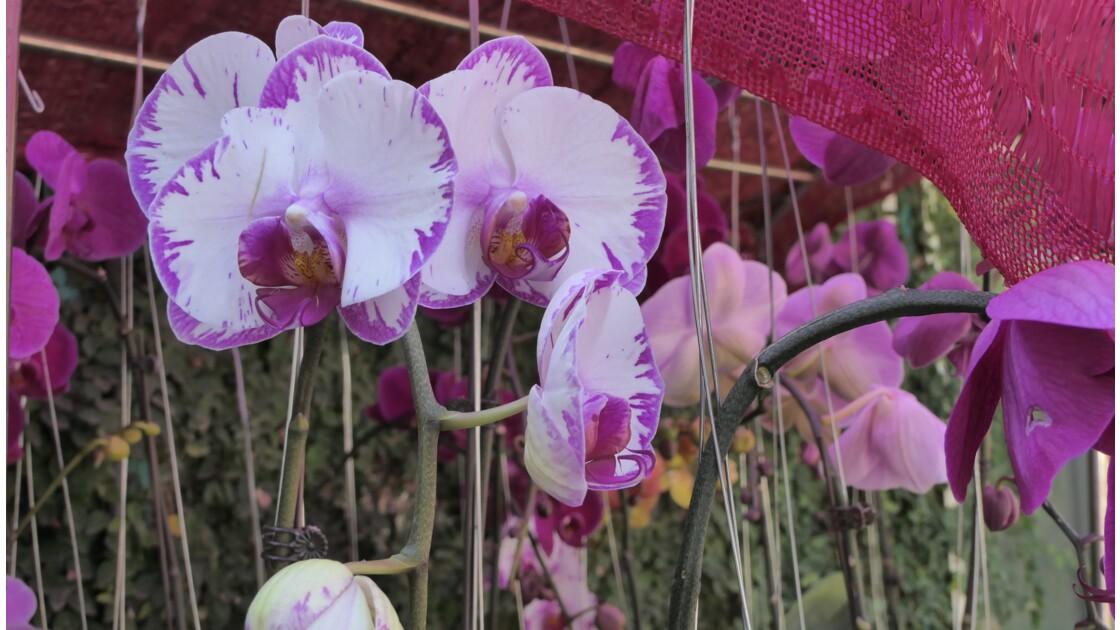 Festival d'Orchidées à YANGOON