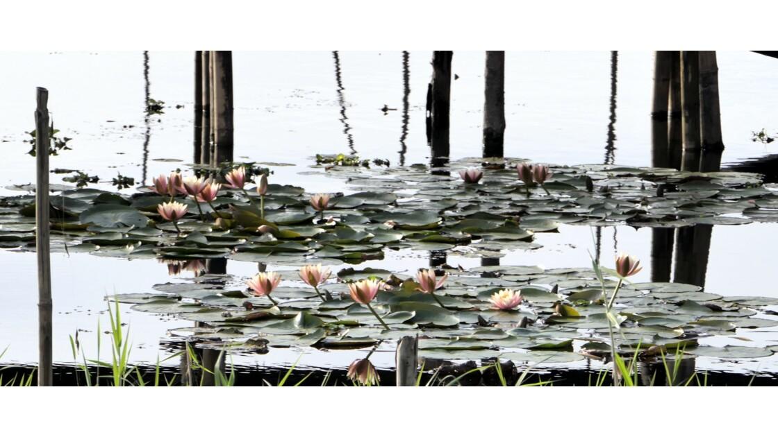 Nénuphars et Bambous sur le Lac Inle