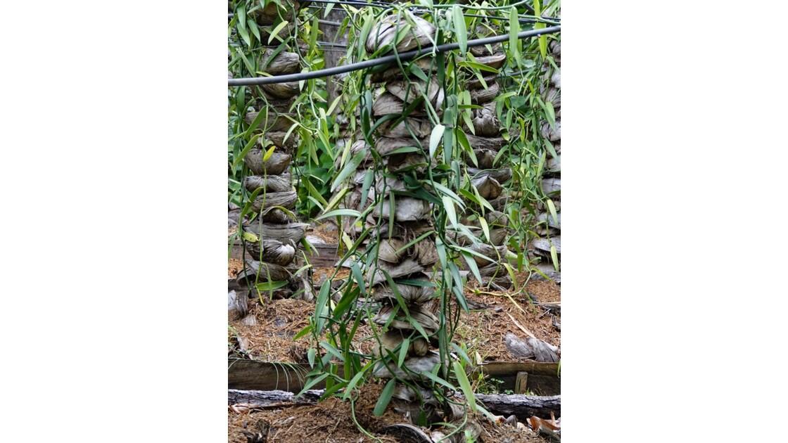 Les Marquises Ua Huka - Arboretum de Vaipaee portes greffes 2