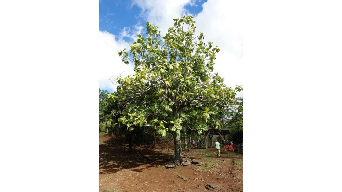 Les Marquises Ua Huka - Arboretum de Vaipaee - Arbre à pain