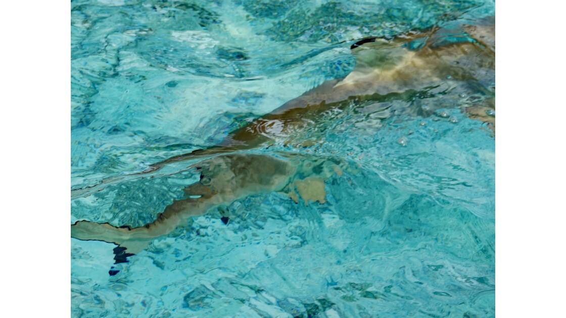 Bora Bora Nage avec les requins et les raies manta 1