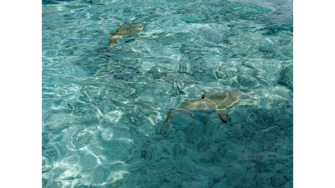 Bora Bora Nage avec les requins et les raies manta 2