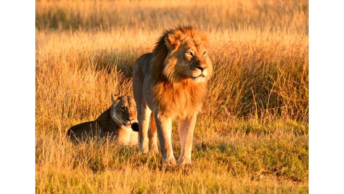 Namibie - couple de Lions