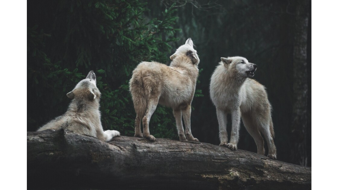 The howling band