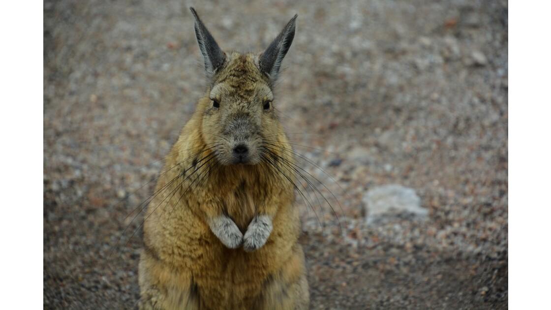 Viscache Bolivie