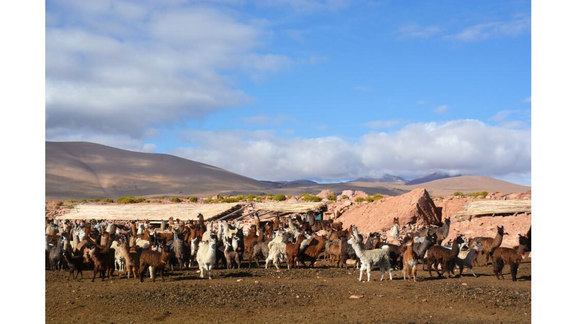 Lamas Bolivie