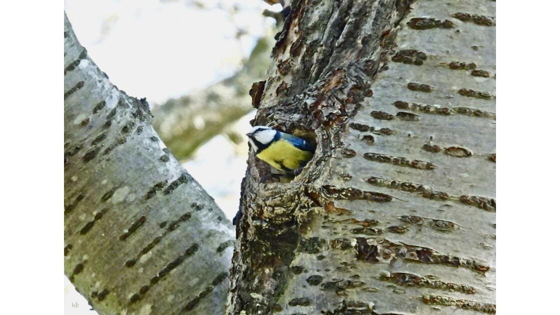 GRÈBE HUPPÉ en période nuptiale , MÉSANGE BLEUE dans  un nids de SITTELLE , CANARD DE BARBARIE …