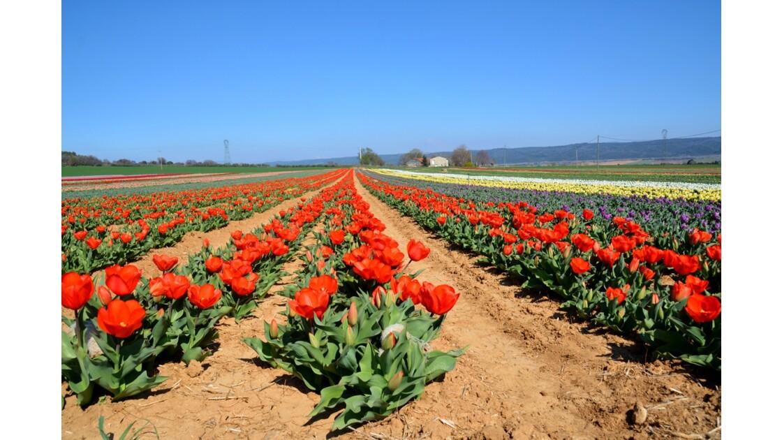 champs de tulipes France