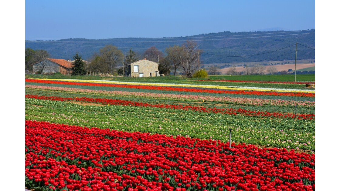 champs de tulipes France