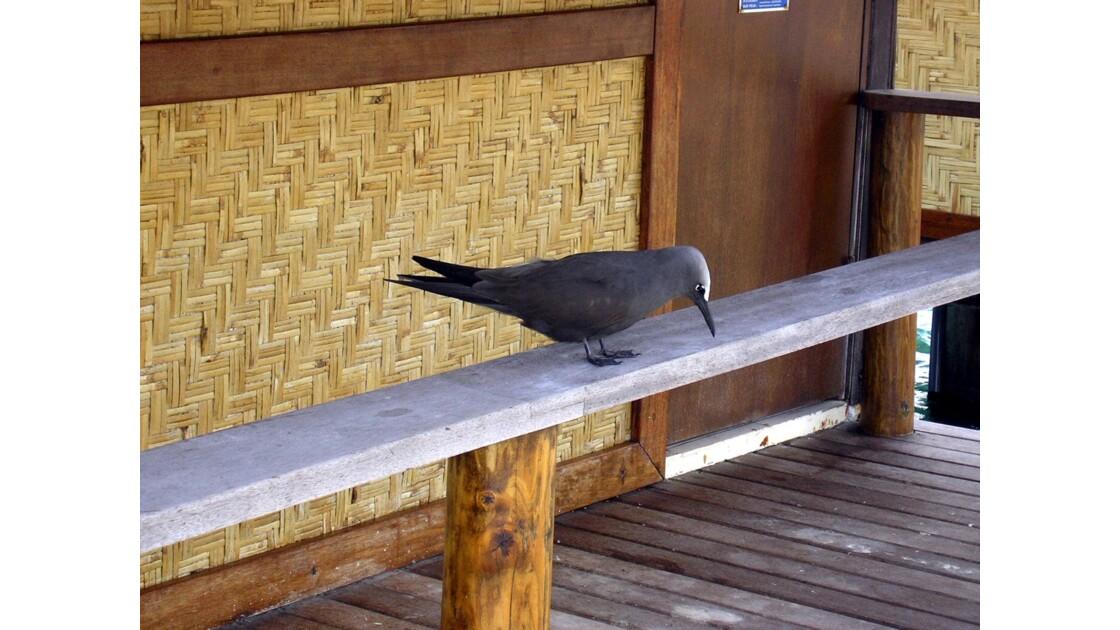 L'oiseau gris devant le bungalow
