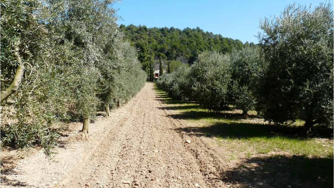 Les oliviers de Cucuron