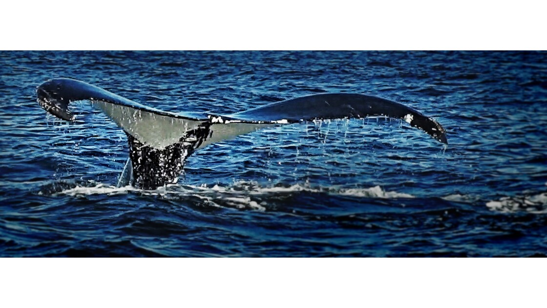 PERCE baleine