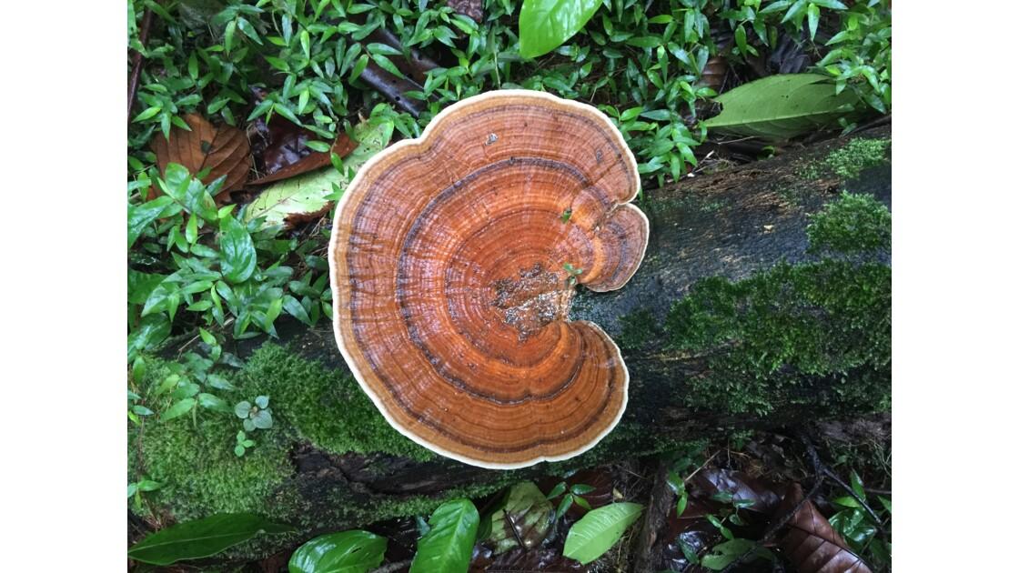 champignon Guyane