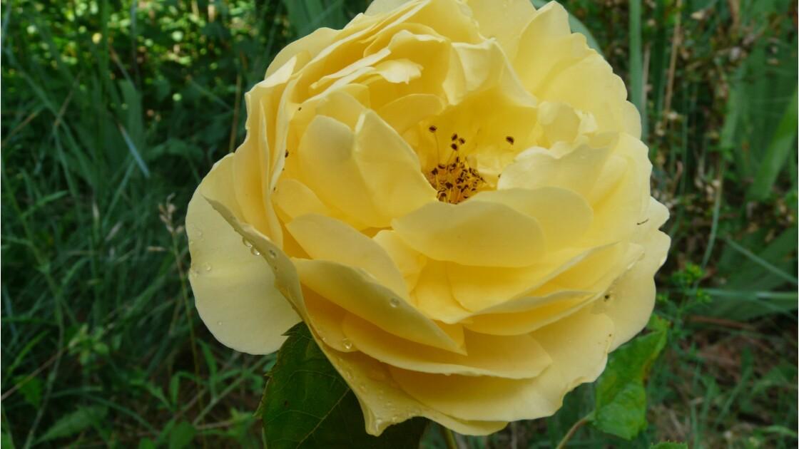 Roses du matin