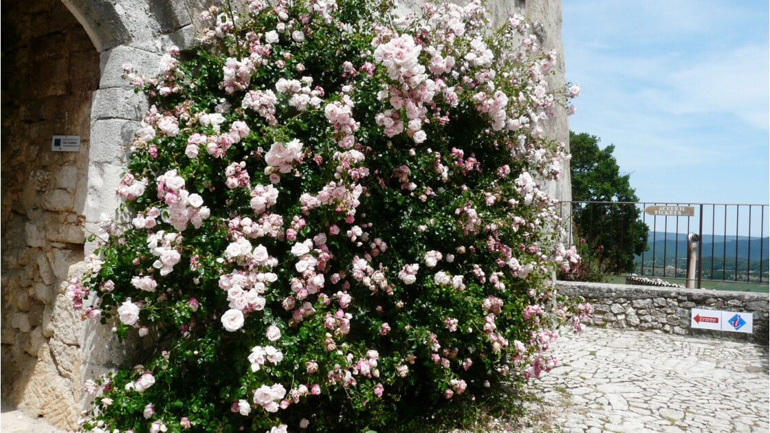 Roses de Simiane