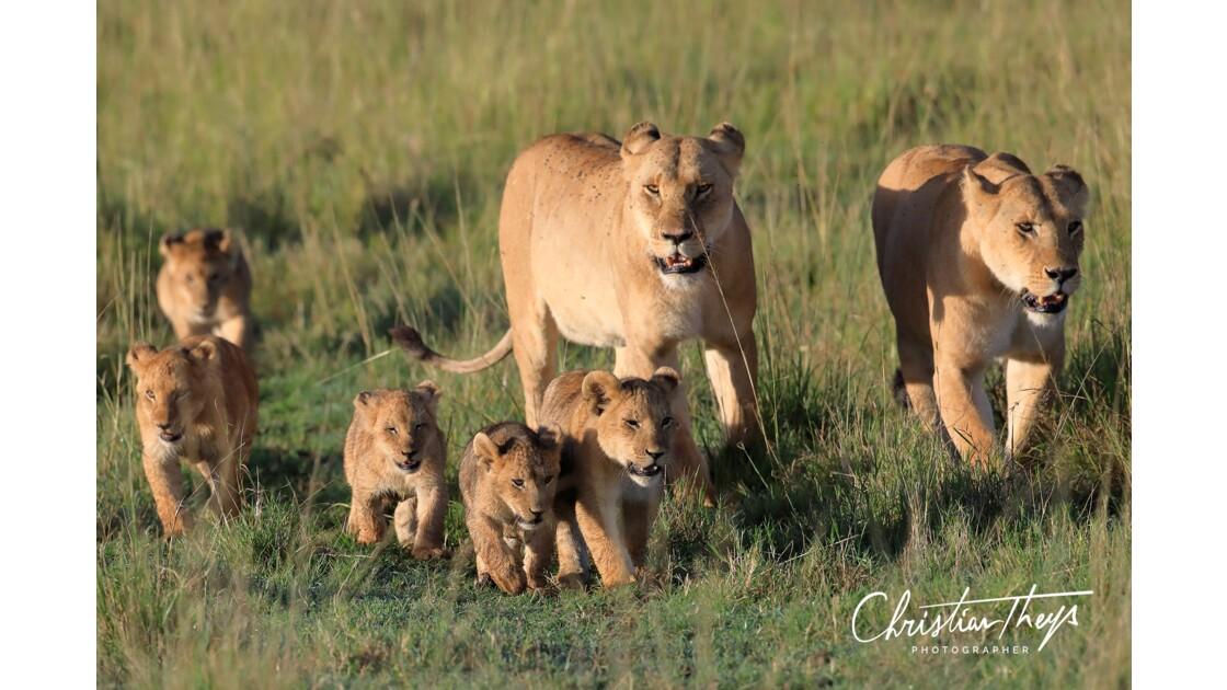 deux familles de lionnes