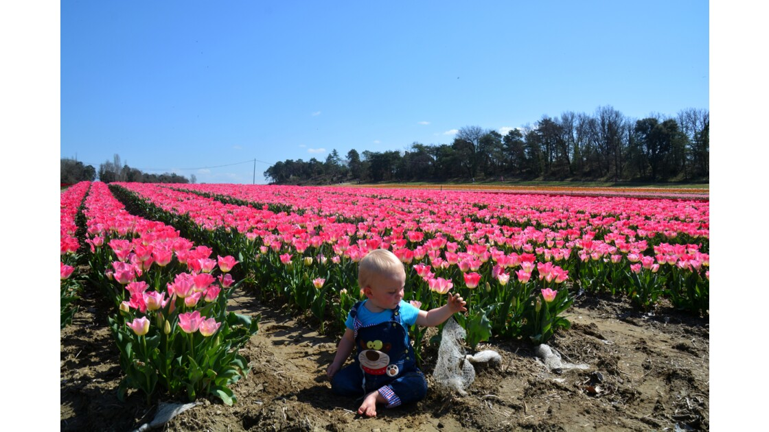Champs de tulipes Provence