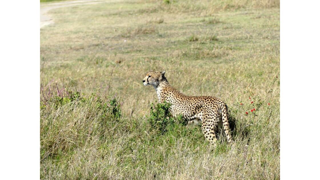Guépard au Serengeti