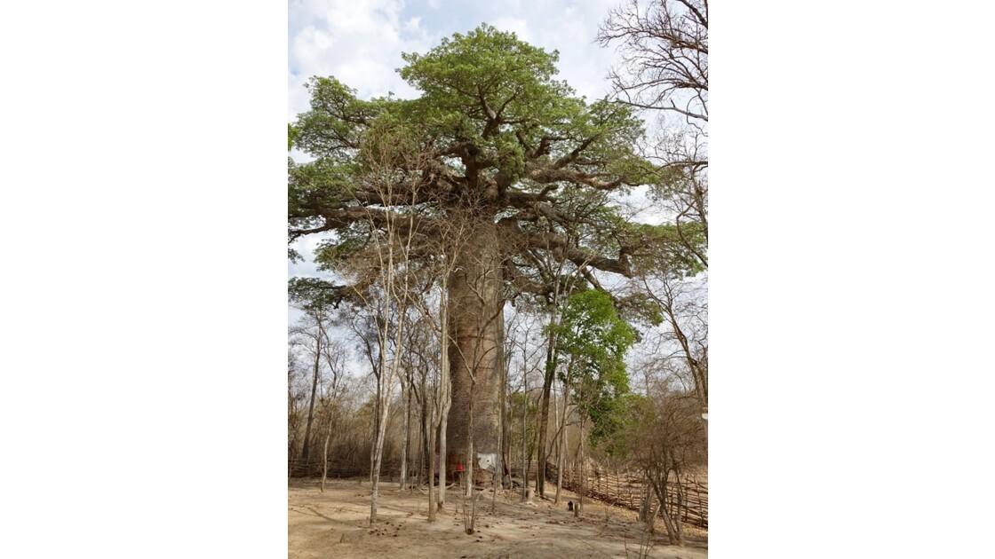 Madagascar  Piste de Morondava Baobab sacré 3