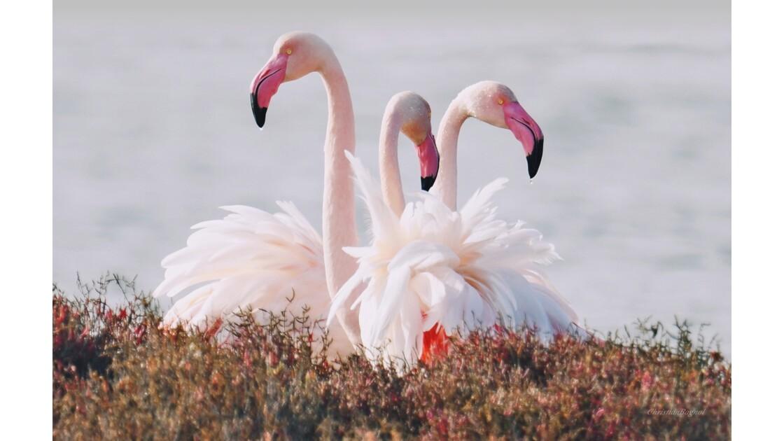Flamants rose  (Flamingos   flowers  )