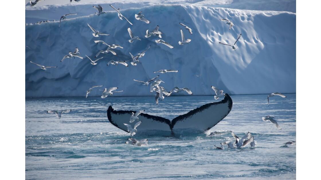 Les baleines à bosse aussi ont un passeport !