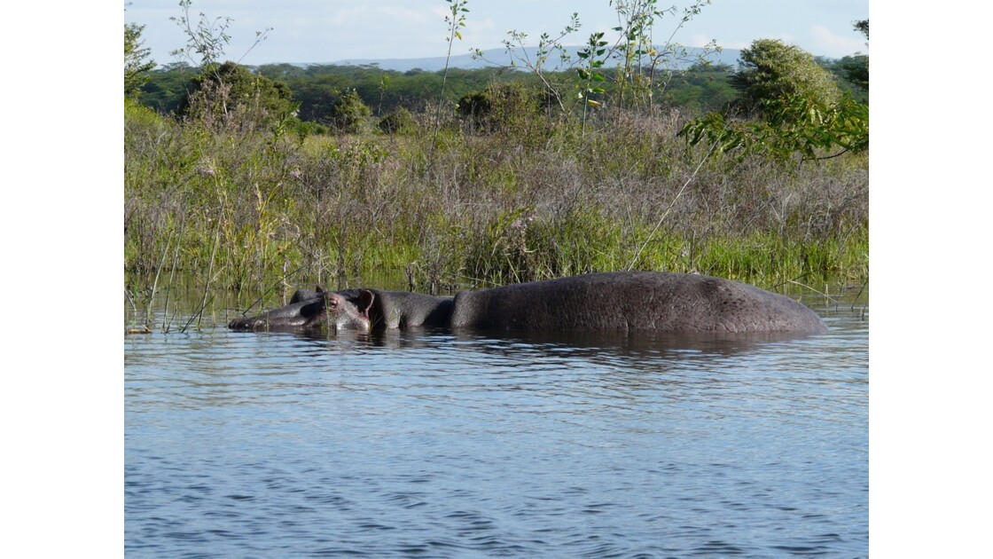 Kenya Lac Naivasha Hippopotame 1