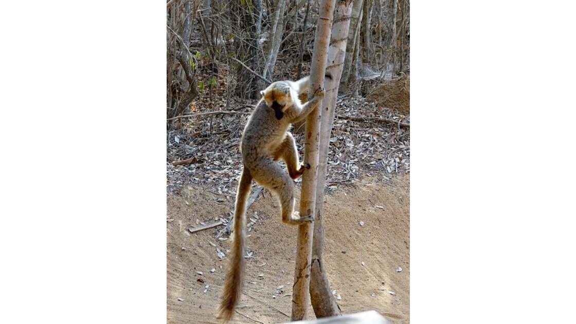 Madagascar Lémurien sur la piste de Morondava 1