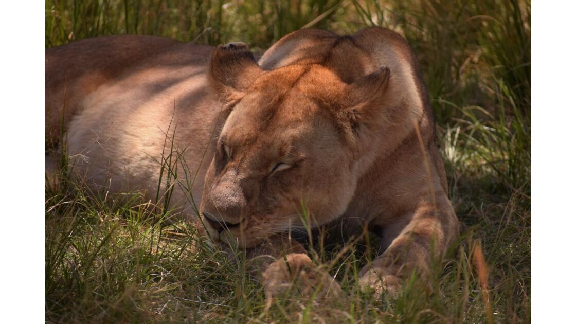 Lionne qui sommeille, Masai Mara