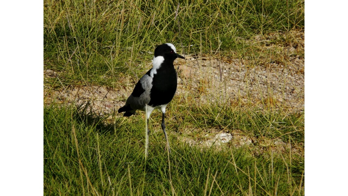Kenya Parc d'Amboseli Vanneau armé