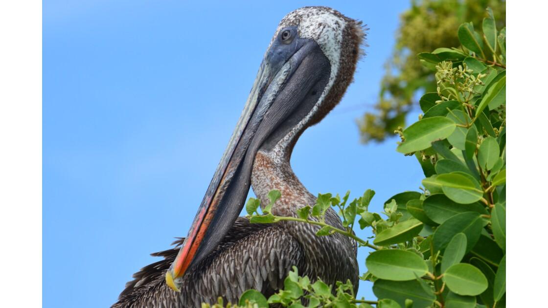 Pélican Galapagos mars 2019