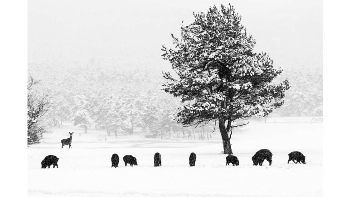 Rencontre biche et sanglier dans la neige