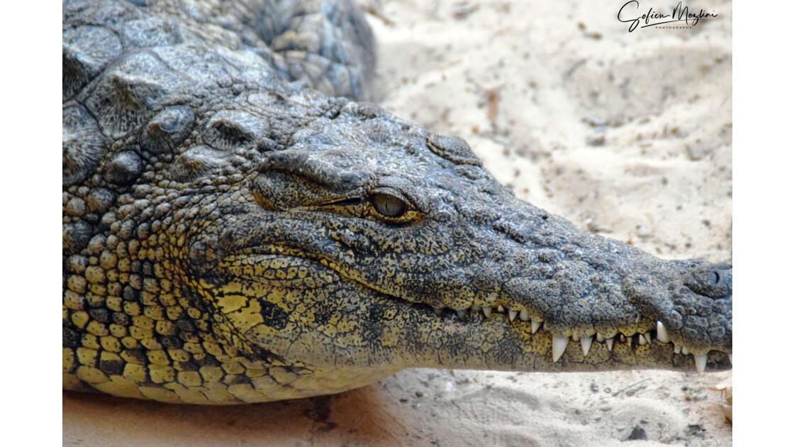 crocodile djerba